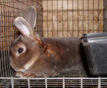 opal mini rex rabbit senior buck