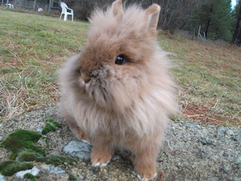 Cute Lionhead Rabbit in Washington state