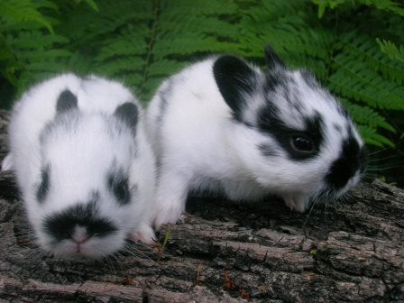 baby polish rabbits