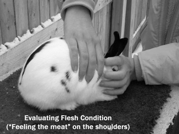 Rabbit showmanship tips