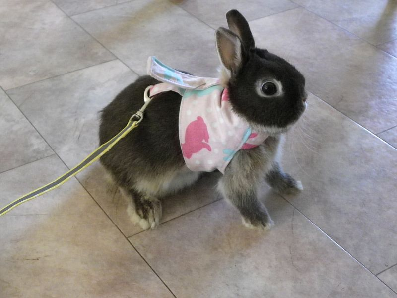 Netherland Dwarf Rabbit in Harness is not impressed
