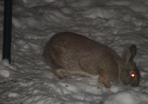 rabbit at feed plot