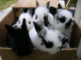 baby rabbits in a nestbox