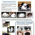 Rabbit Body Type Judging Information