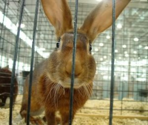 Belgian Hare Lookin' At You