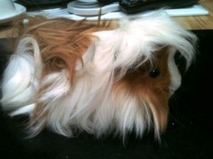 red and white peruvian cavy junior