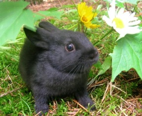 black or self chinchilla self chin bunny