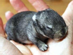 Touching newborn dwarf rabbit