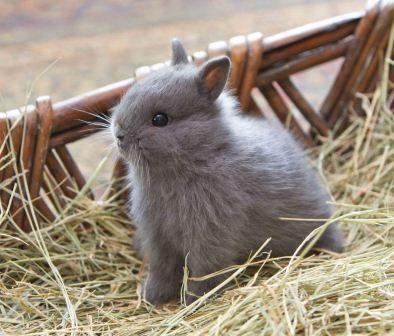 Cute blue Netherland Dwarf bunny small kit