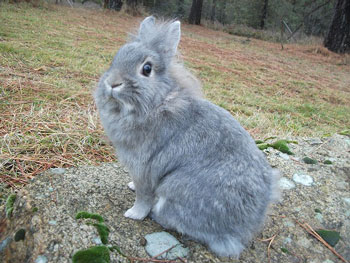 Sweet Lionhead rabbit photo