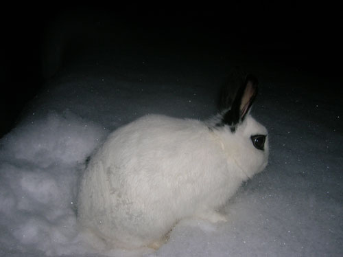 rabbit playing in snow