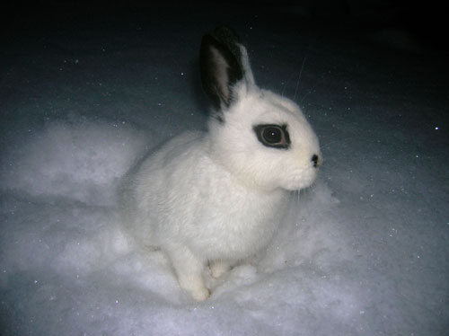 photo of domestic rabbit playing in the snow