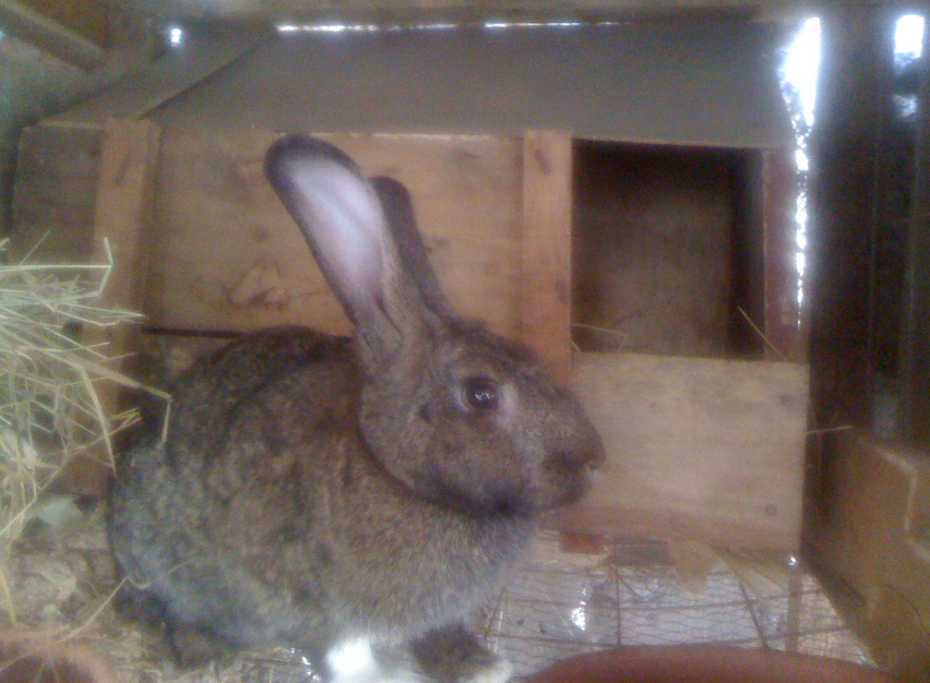 kenyan rabbit breeder