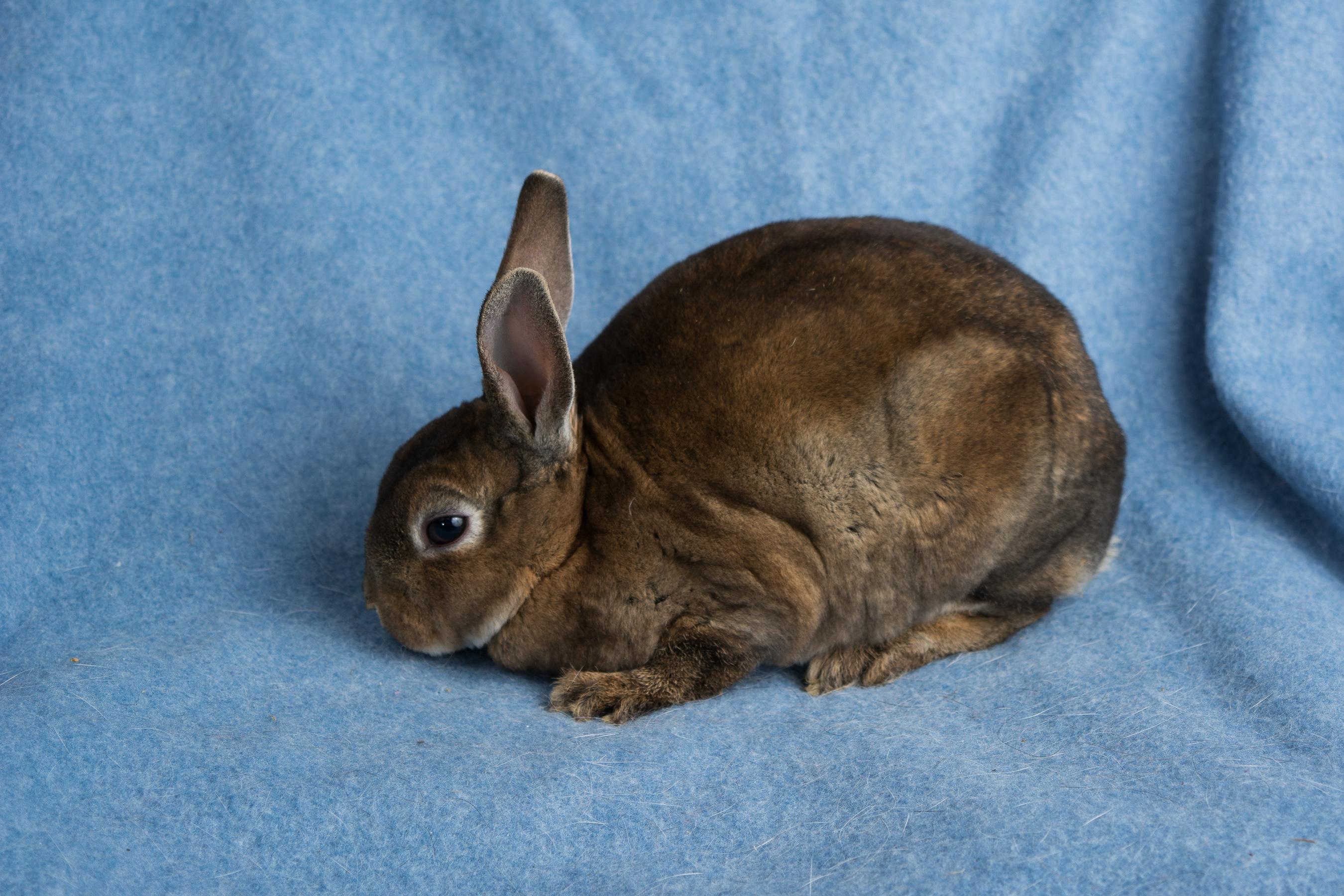 Castor Mini Rex Rabbit